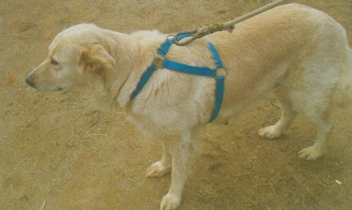 Cabezada para perros y caballos consejos la colaga club for Cabezadas para caballos